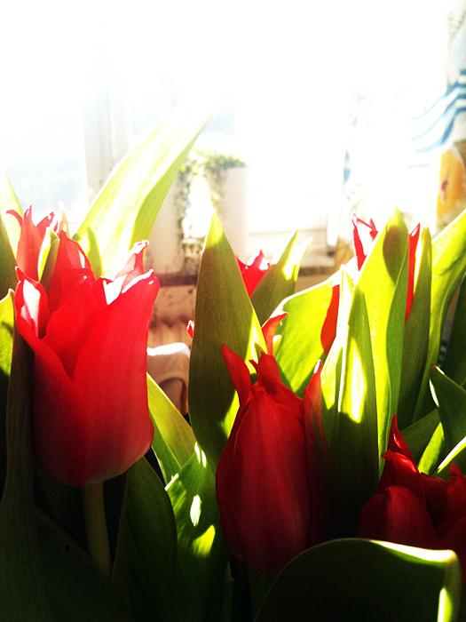 Veckasn blommor är rosaröda spetsiga tulpaner