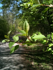 Knopparna har slagit ut och hea skogen är grön