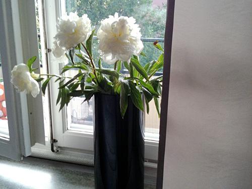 Veckans blommor vecka 25 är vita pioner