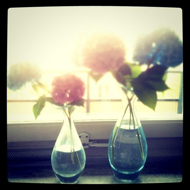 Veckasn blommor vecka 30 är blåa och lila hortensia