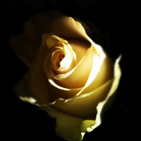 Ros i vackert morgonljus