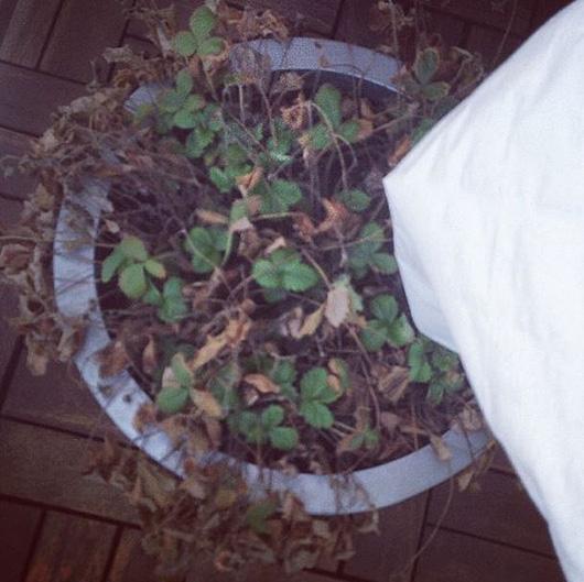 smultron-odlingslotten