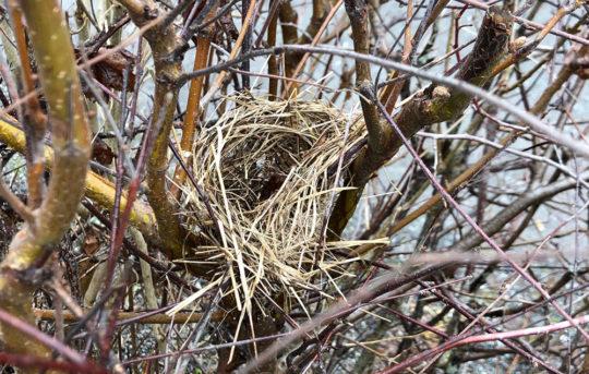 fågelbo av torkat gräs mitt i häckens grenar