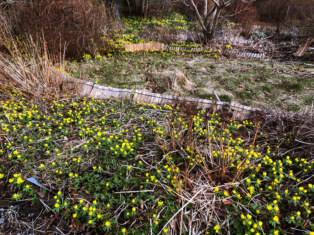 Hela tomten översållad av lysande gula vintergäck