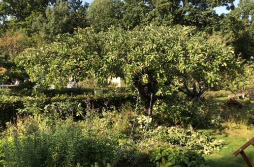 Nybeskuret äppelträd